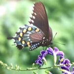 Diana Landry-Black Butterfly