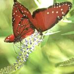 Diana Landry-Two Brown Butterflies