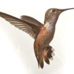 Diana Landry-Hummingbird on Silver